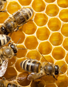 honeybees and honey comb