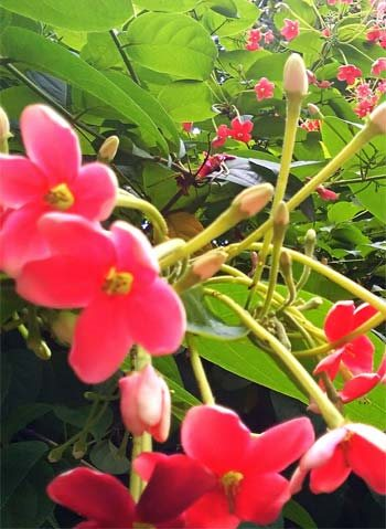 Pink Flowers from Uruguay