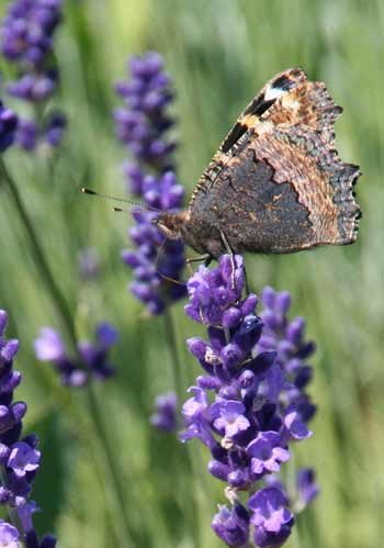 Brown and gray moth on lavender flowers