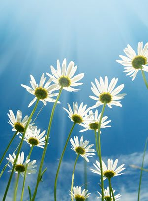 daisies against a blue sky