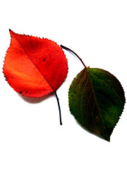 two leaves, one red and one green