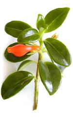 planta de pintalabios con flor de naranja