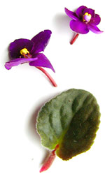 purple african violet blossoms and leaf