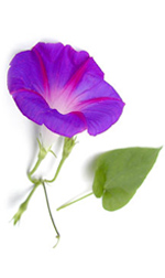 Purple morning glory flower