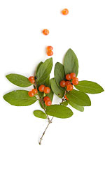 red bird berries and green leaves