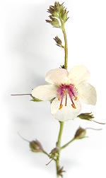 white flower with pink stamens