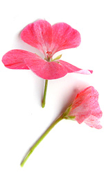 two pink geranium flowers