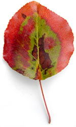 a green leaf with a red border and brown spots
