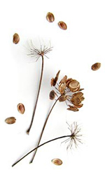 three grass heads with scattered seeds